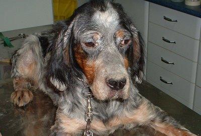 leishmaniosis perros sintomas